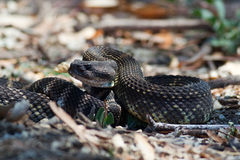Southern Pacific Rattlesnake Crotalus oreganus helleri. A venomous Southern Pacific Rattlesnake, curled into a defensive position. Southern Pacific rattlesnakes royalty free stock photography