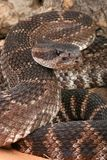 Southern Pacific Rattlesnake (Crotalus viridis hel. This snake was found in the Santa Monica Mountains of California. It is somewhat aggressive and has large Royalty Free Stock Photography