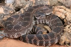Southern Pacific Rattlesnake (Crotalus viridis hel Stock Photo