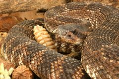 Southern Pacific Rattlesnake (Crotalus viridis hel. This snake was found in the Santa Monica Mountains of California. It is somewhat aggressive and has large Stock Image