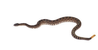 Southern Pacific Rattlesnake (Crotalus viridis helleri) in front. Closeup of a Southern Pacific Rattlesnake in front of a white background. On white Royalty Free Stock Photo