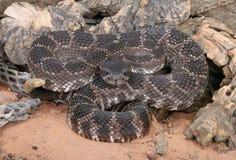 Southern Pacific Rattlesnake (Crotalus viridis helleri). Stock Photo