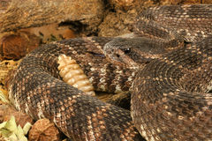 Southern Pacific Rattlesnake (Crotalus viridis helleri). Royalty Free Stock Photo