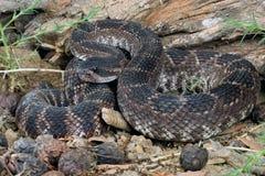 Southern Pacific Rattlesnake (Crotalus viridis helleri). Stock Photos