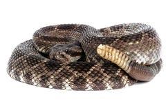 Southern Pacific Rattlesnake (Crotalus viridis helleri). Royalty Free Stock Images