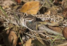Southern Pacific Rattlesnake eating lizard Royalty Free Stock Photos