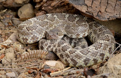 Southern Pacific Rattlesnake Stock Photos