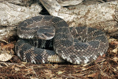 Southern Pacific Rattlesnake Stock Images