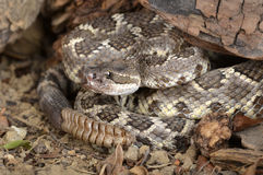 Southern Pacific Rattlesnake Royalty Free Stock Photos