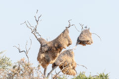 Southern Pale Chanting Goshaw on top of huge community nest Royalty Free Stock Photography