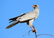 Southern pale chanting goshawk. Sitting in the top of a tree in Okonjima, Namibia Stock Photography