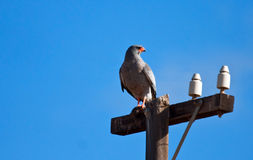 Southern Pale Chanting Goshawk Stock Images