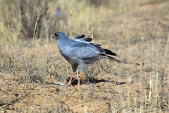 Southern pale chanting goshawk Royalty Free Stock Photos
