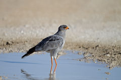 Southern Pale Chanting Goshawk Royalty Free Stock Photography