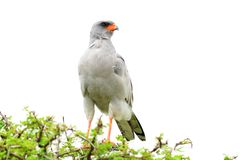 Southern pale chanting goshawk,Etosha,Namibia Royalty Free Stock Photos