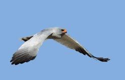 Southern Pale Chanting Goshawk in flight. Melierax canorus - Kalahari Desert Stock Photo