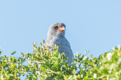 Southern Pale Chanting Goshawk. A Southern Pale Chanting Goshawk, Melierax canorus, in the Addo Elephant National Park of South Africa Royalty Free Stock Image