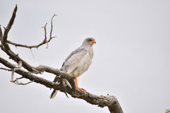 Southern Pale Chanting Goshawk, Melierax canorus. Kgalagadi Transfrontier Park, South Africa Royalty Free Stock Photography