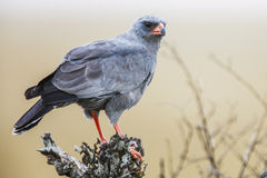 Southern Pale Chanting Goshawk ( Melierax canorus), South Africa Royalty Free Stock Image