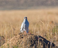 Southern pale Chanting Goshawk. A Southern Pale Chanting Goshawk perched on a termite mound in Southern African savannah Royalty Free Stock Images