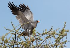 A southern pale chanting goshawk. Photographed in the Borakalalo National Park in South Africa stock photos