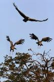 Southern Pale Chanting Goshawks - Botswana Royalty Free Stock Image
