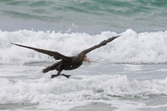 Southern Petrel at the Beach. Southern Giant Petrel swoops down towards the incoming tide of the ocean Royalty Free Stock Photography
