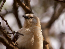 Southern pied babbler Royalty Free Stock Photos
