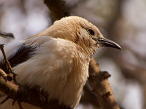 Southern pied babbler Stock Images