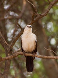 Southern pied babbler Stock Image