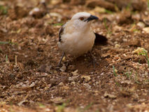 Southern pied babbler Royalty Free Stock Image
