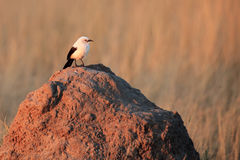 The southern pied babbler Turdoides bicolor sitting. On the termite mound royalty free stock images