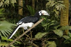 Southern pied-hornbill or Asian Pied-hornbill, Anthracoceros albirostris Stock Image