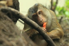 Southern pig-tailed macaque Stock Images