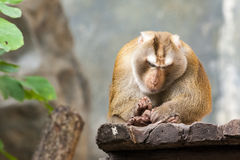 Southern pig tailed macaque Royalty Free Stock Image