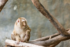 Southern pig tailed macaque Royalty Free Stock Photo