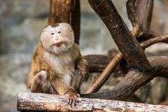 Southern pig tailed macaque Royalty Free Stock Photography