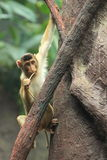 Southern pig-tailed macaque Stock Image