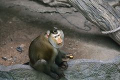 Southern pig-tailed macaque. Macaca nemestrina can reach a weight of 5–15 kg in large males. These monkeys are buff-brown with a darker back and lighter lower Stock Photos