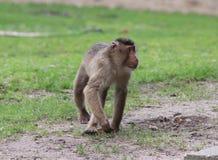 Southern pig-tailed macaque, Macaca nemestrina. Close up of southern pig-tailed macaque Stock Photos