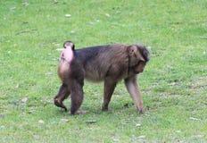 Southern pig-tailed macaque, Macaca nemestrina. Close up of southern pig-tailed macaque Stock Photography