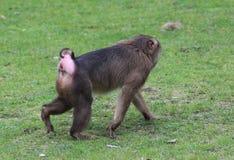 Southern pig-tailed macaque, Macaca nemestrina. Close up of southern pig-tailed macaque Royalty Free Stock Photos