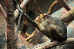 Southern pig-tailed macaque Stock Photos