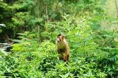 Southern pig-tailed macaque Royalty Free Stock Images
