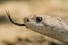 Southern Pine Snake. 's head close-up with tongue out royalty free stock photos