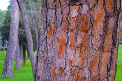 Southern pine tree bark. Good quality close up photo of a southern pine tree bark: quite sharp bark texture; red, brown and gray tones, beautiful natural pattern Stock Images