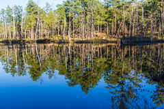 Southern Pine Tree Forest Reflection Stock Photo
