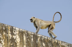 Southern Plains Gray Langur monkey in India Jaipur Royalty Free Stock Image
