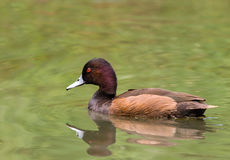 Southern Pochard Stock Images