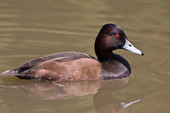Southern Pochard Royalty Free Stock Photos